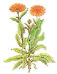 Caléndula (Calendula officinalis L.)
