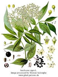 Flores de sauco (Sambucus nigra)