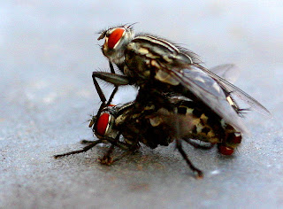 lalat kawin