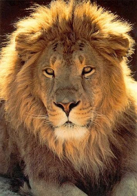 Afrika Aslanları Belgeseli