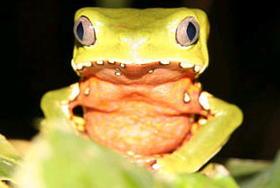 Tiny Dart Frog