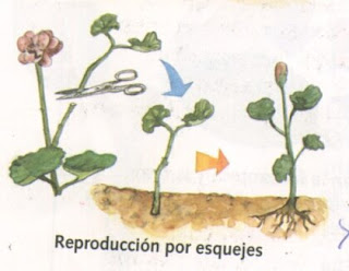 Tipos de reproduccion asexual vegetativa artificial
