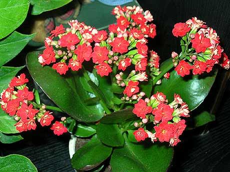 Flor de medicina kalanchoe daigremontiana for Kalanchoe cura