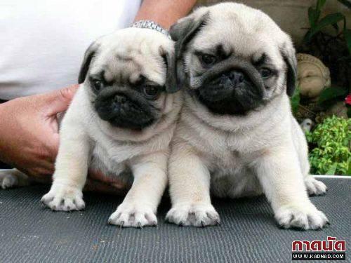 10 สุนัขพันธุ์เล็ก น่ารัก ที่คนนิยมเลี้ยง