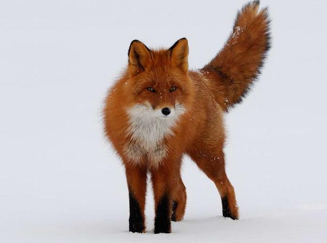 Lambang Mozilla Firefox