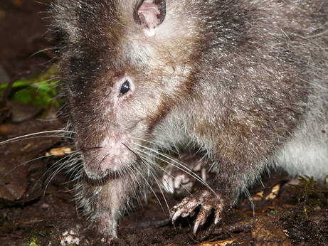 090909 01 giant woolly rat big 10 Penemuan spesies Binatang Baru Versi National Geographic