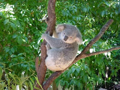 Koala, Sydney