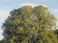Tree June 22 2009