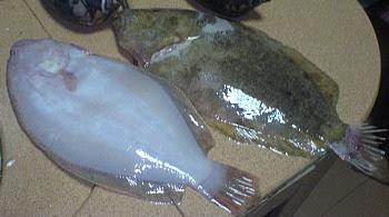 Mengenal Ikan Sebelah
