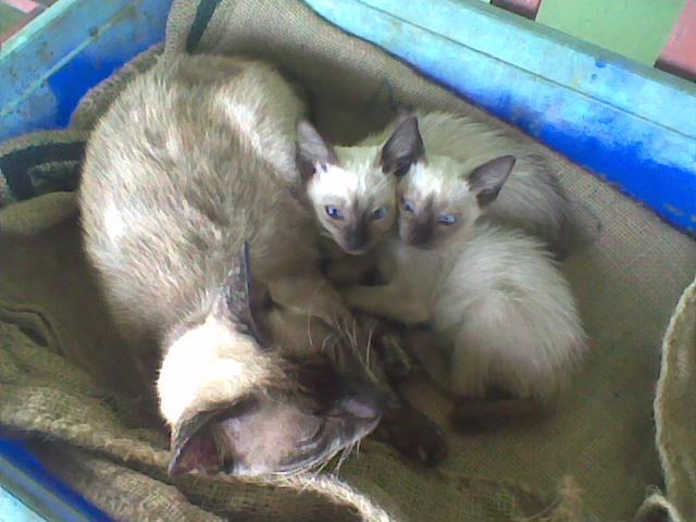 Sabre2008 2 Kucing Siam