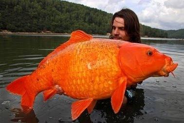 giant%20goldfish%20big%20koi%20carp%20photo%20picture.jpeg