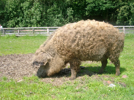 the mighty mangalitza
