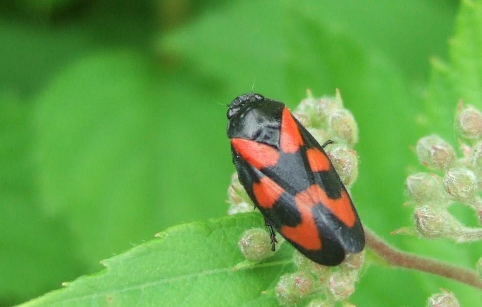 Insekten resort zikaden for Gelbtafeln gegen zikaden