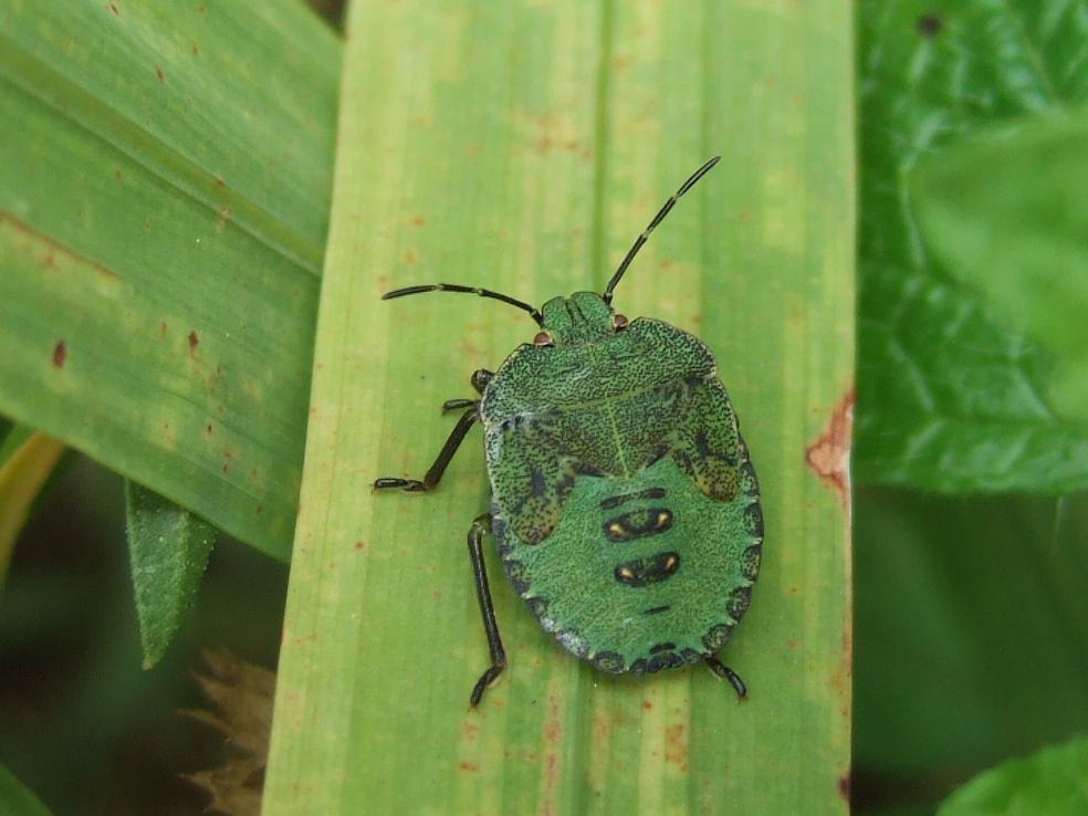 insekten resort gr ne stinkwanze palomena prasina. Black Bedroom Furniture Sets. Home Design Ideas