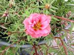 Portaluca Rose
