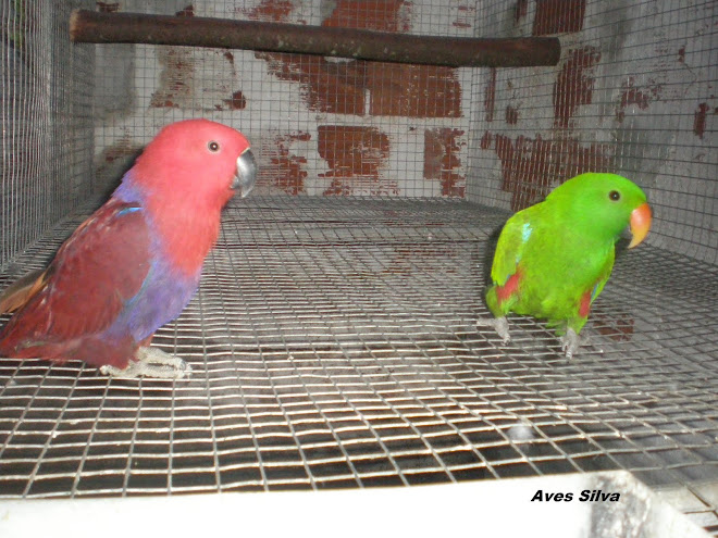 Papagaio Eclectus  Roratus