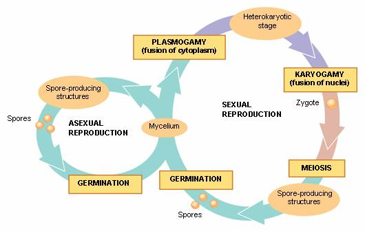 dbbf3576141 A reprodução assexuada tem como vantagens ser um processo rápido e com um  pequeno gasto de energia. Visto que a divisão nuclear é um processo de  mitose
