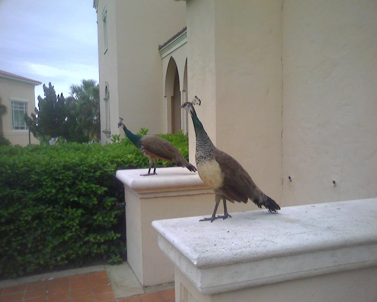 [peacocks]