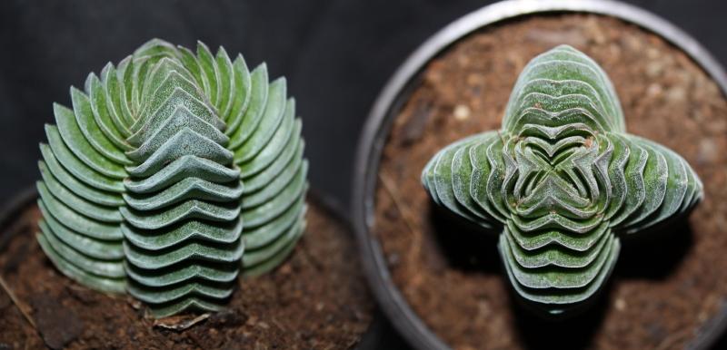 Viveros vangarden crassula pyramidalis for Plantas crasas interior