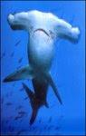 Tiburón martillo (Sphyrna lewini)