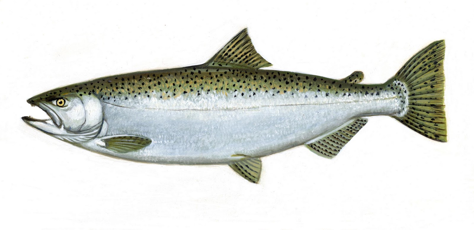 king salmon Chinook (king) salmon oncorhynchus tshawytscha other names: king, tyee, blackmouth (immature) average size: 10-15 lbs, up to 135 lbs.