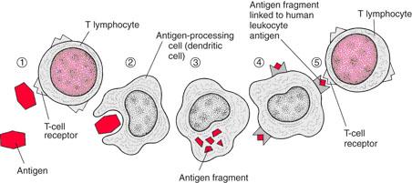 linfosit mengenali antigen