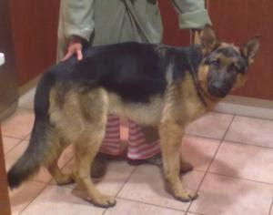 Animales en adopcion en galicia cachorro de pastor aleman for Pastores alemanes en coruna