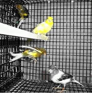 Bird Comunity: asal mula burung kenari