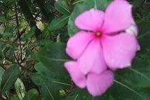 tsitsirika (catharanthus roseus Linn.)
