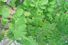 malunggay (moringa oleifera)