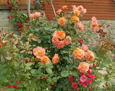 róże i malwy