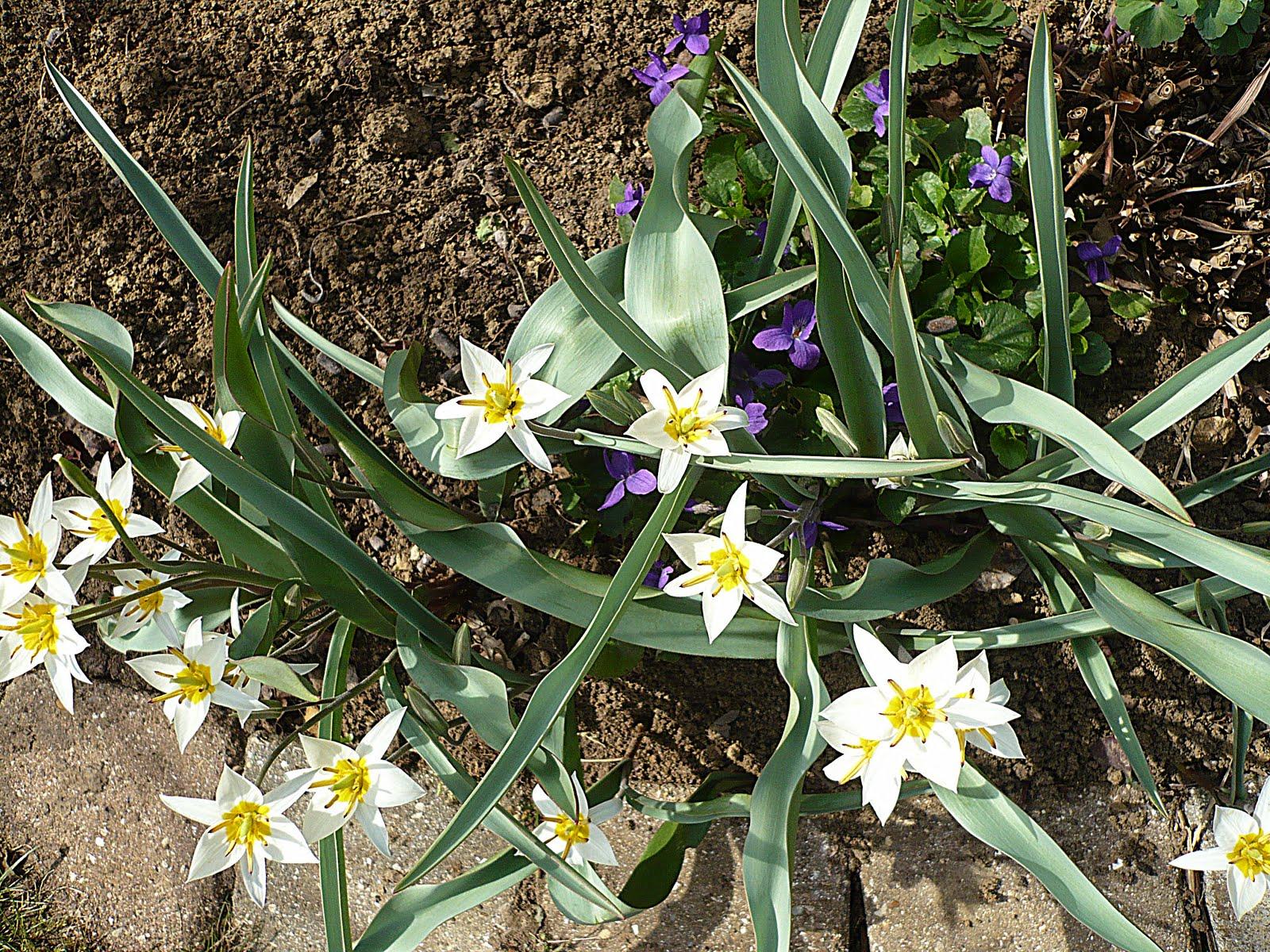 Le jardin des grandes vignes tulipe botanique turkestanica - Le jardin des grandes vignes ...