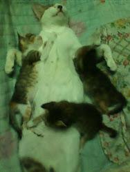 kucing mampos