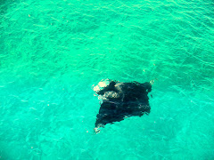 A Manta ray just swiiming around the pier.