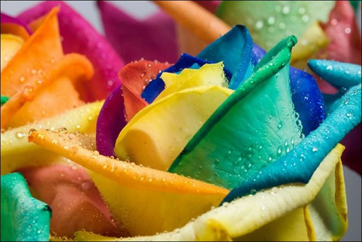 Rainbow roses all colors in one rose alpin funny picture for Rainbow colored rose