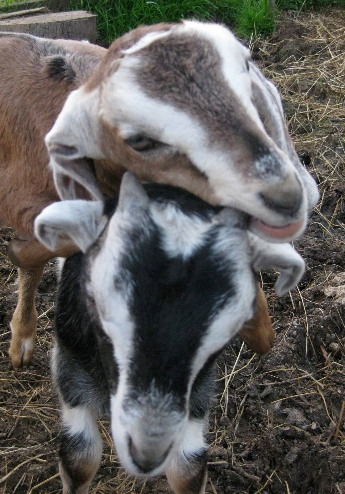 Solar Living: Urban Homesteading: How to Raise Backyard Goats Raising Goats