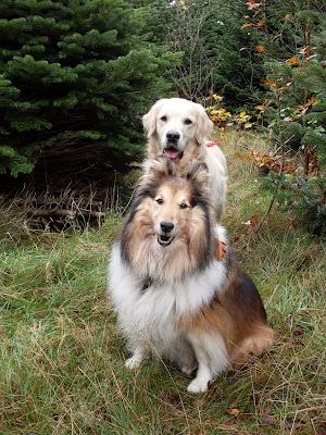 stor hund med langt hår
