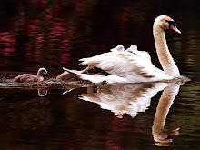 El cisne...