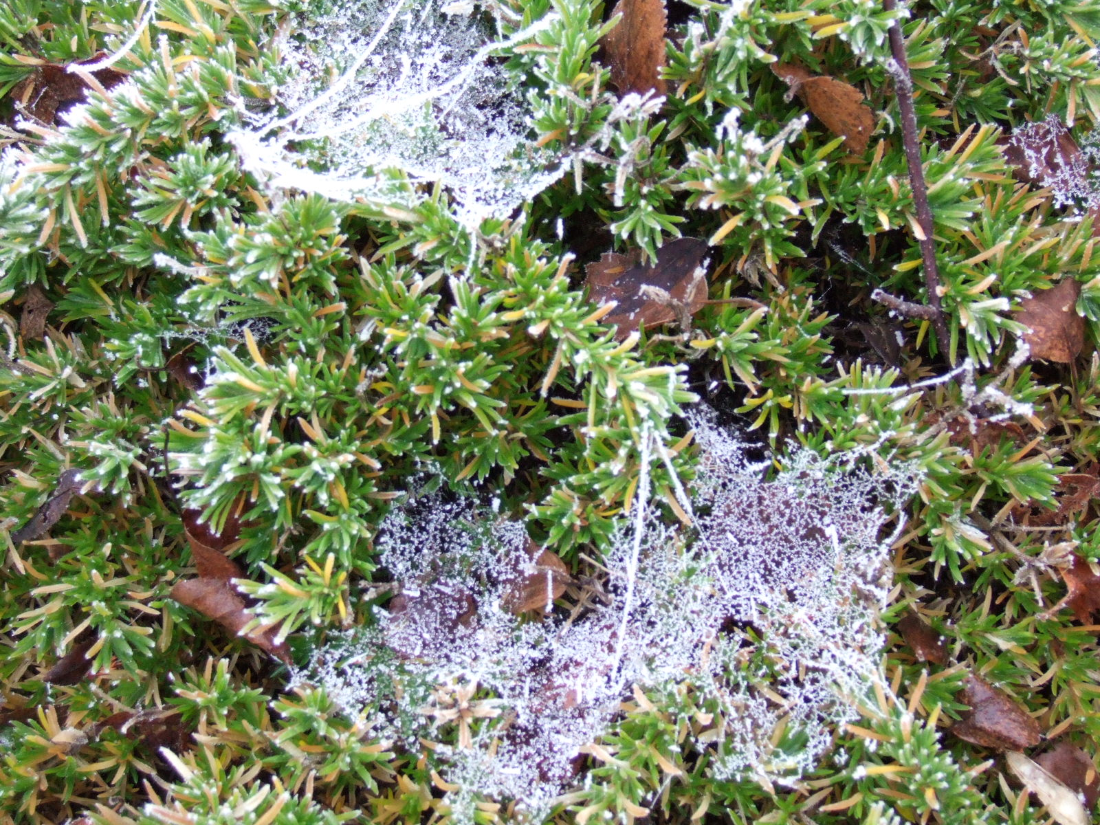 [31+Dec+2006+Frost+on+spiders]
