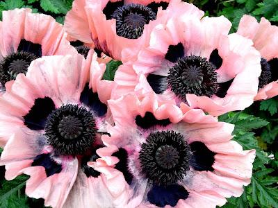 Papaver%2bOrientalis%2c%2bDusky%2bPink%2bOriental%2bPoppies bagus, 16 Bunga Terindah di Dunia yutube bunga terindah didunia youtube cantik bahenol www.sepuluh bunga terindah di indonesia www.mawar terindah www.hutan terindah didunia.com www.bunga termahal www bunga mawar terindah di dunia com web wall gambar bunga indah vidio orang putih blue vidio hantu bunga mawar video air mata teraneh didunia tumbuhan terindah di indonesia tumbuhan terindah di dunia tumbuhan langka yang ada diindonesia tumbuhan langka nama dan gambarnya tumbuhan langka khasebuts indonesia dan nama nama tumbuhan ter tumbuhan langka di indonesia tumbuhan khas asia tujuh bunga terindah di dunia top ten bunga unik top 10 bunga termahal di dunia terowongan bunga tema pemandangan bunga mawar tanamanhis tanaman tnrindah di hndonesia tanaman terindah didunia tanaman terindah di indonesia tanaman terindah di dunia tanaman terindah tanaman ter indah di dunia tanaman paling indah di dunia tanaman bunga terindah tanaman bunga ros tanaman bunga indah tanam terindah didunia taman bunga yang terindah taman bunga yang tercantik taman bunga yang paling tercantik di malaysia taman bunga terindah didunia taman bunga terindah di dunia taman bunga tercantik taman bunga paling indah di dunia taman bunga mawar terindah dunia t station paling bagus di dunia sidenav sejarah bunga colorado columbine sakura terindah di dunia rumah terindah dan termahal didunia rambut terindah di dunia potp bunga mekar paling indah didunia poto tidak tampil poto mawar terindah poto burung terindah di dunia poto bunga.bunga paling bagu poto bunga yang bagus bagus poto bunga terindah saat ini poto bunga terindah di dunia poto bunga terindah poto bunga paling bagus poppy fgd poppy bunga picture bunga ros paling menarik didunia pic bunga terindah di indonesia photo bunga yg paling bagus photo bunga yg indah di dunia photo bunga mawar yg indah di dunia photo bunga mawar ter indah penemu bunga terindah didunia pemandangan trindah and langka pema