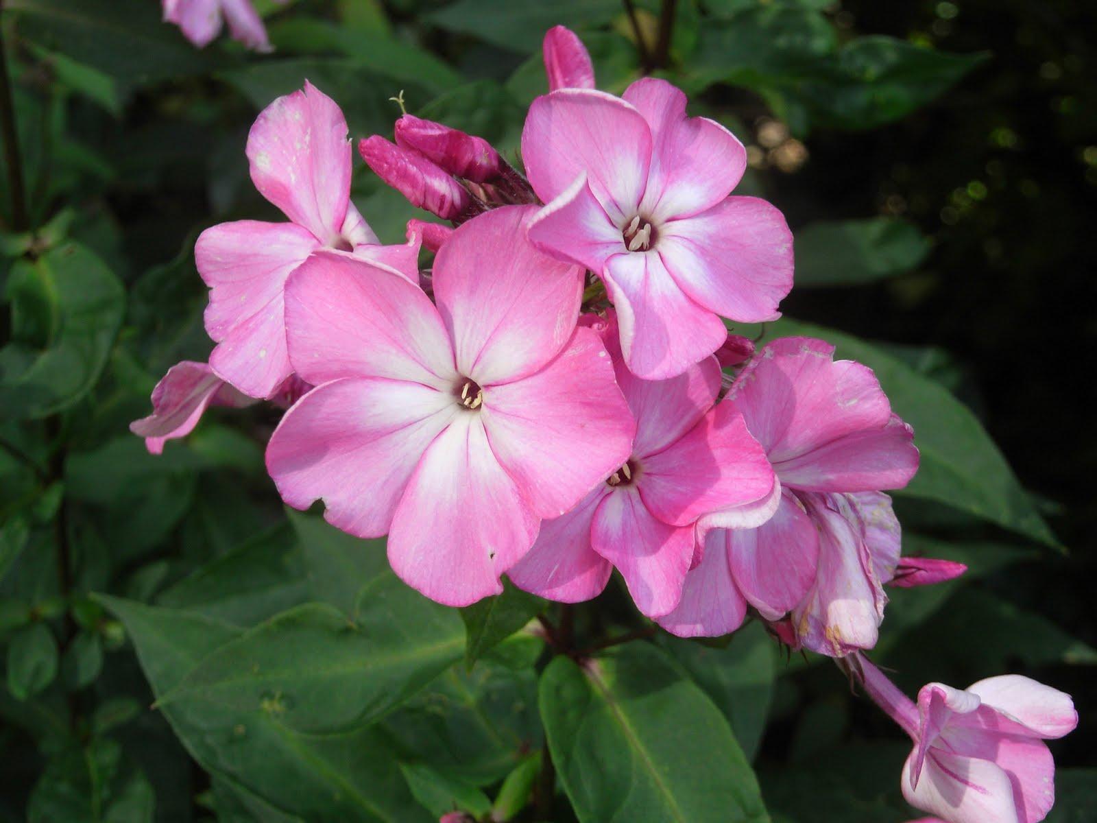 Что за цветок похожий на флокс