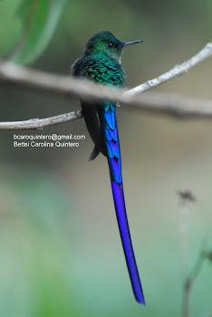 Long-tailed Sylph - Colibri Coludo Azul