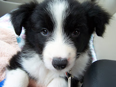 Ace~our Border Collie pup