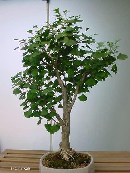 visual st paul bonsai ginkgo. Black Bedroom Furniture Sets. Home Design Ideas