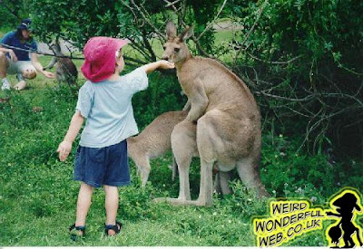 IMAGE: Kid feeding kangaroo while it's mating