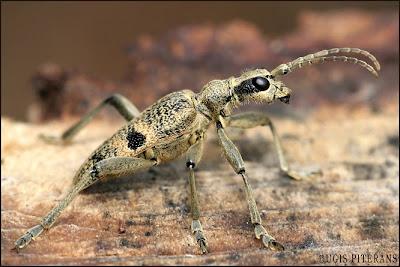 Lapkoku ligzdu koksngrauzis (Rhagium mordax)