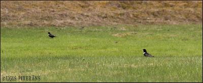 Apkakles strazds (Turdus torquatus)