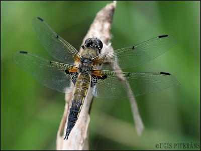 Plankumainā spāre (Libellula quadrimaculata)
