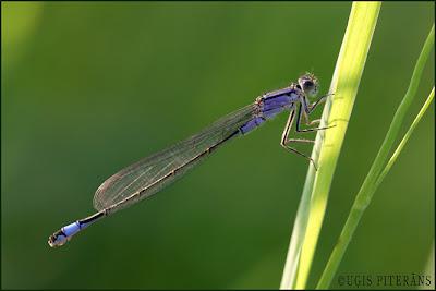 Parastā daiļspāre (Ischnura elegans)