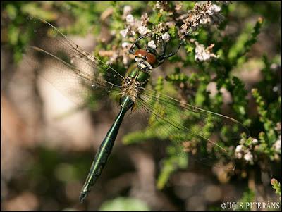 Zaļā smaragdspāre (Somatochlora metallica)